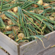Bumper organic onion crop